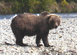 Description: C:\Users\Owner\Documents\Alaska fly Fishing Web Site 2007\images\Big Brownie.jpg